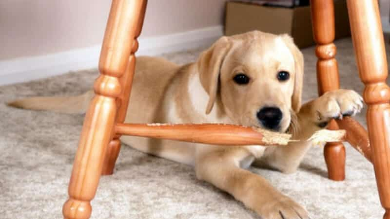 Dog chewing furniture