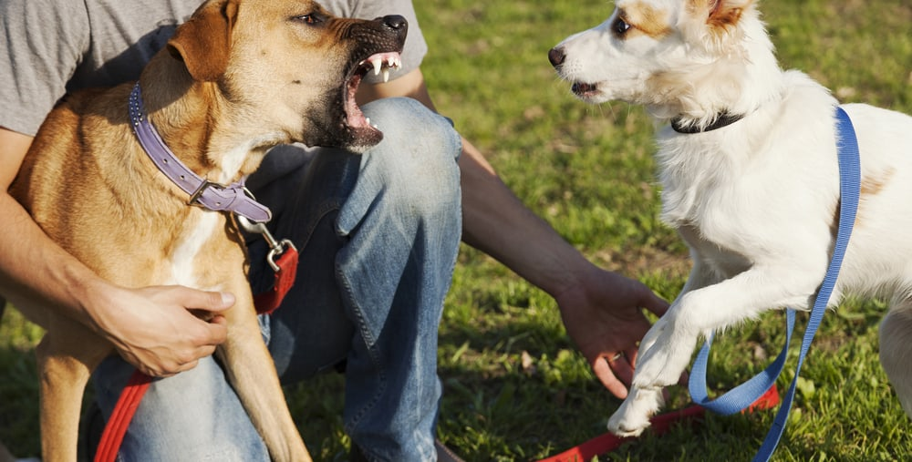 Aggressive dog barking at another dog