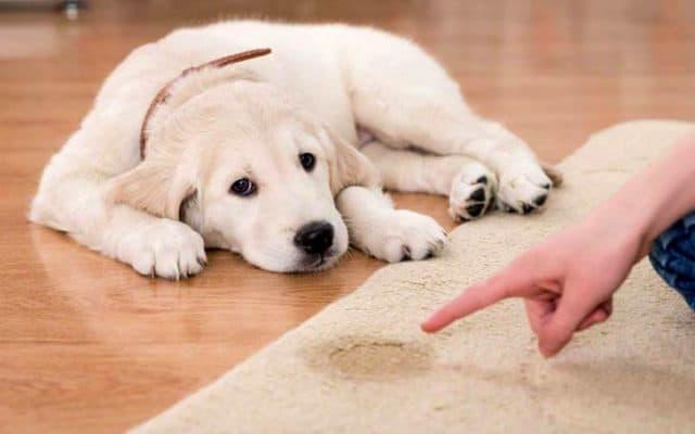 Golden Retriever puppy accident