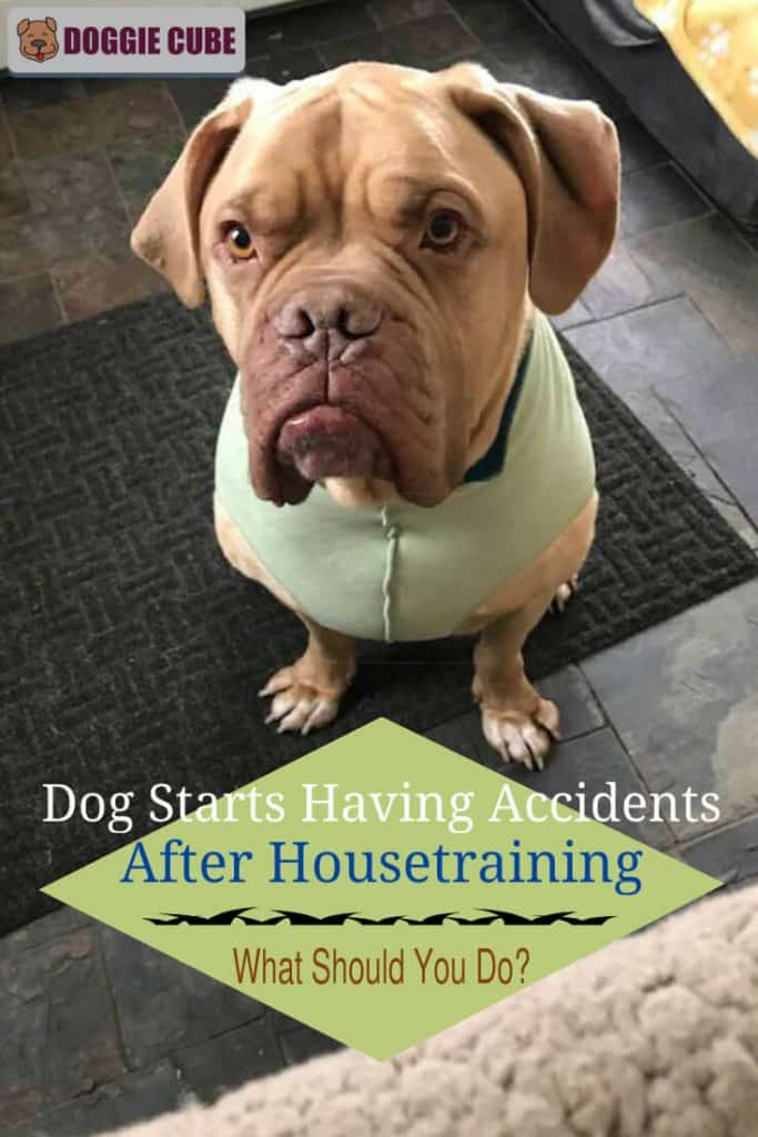 Dog starts having accidents after housetraining