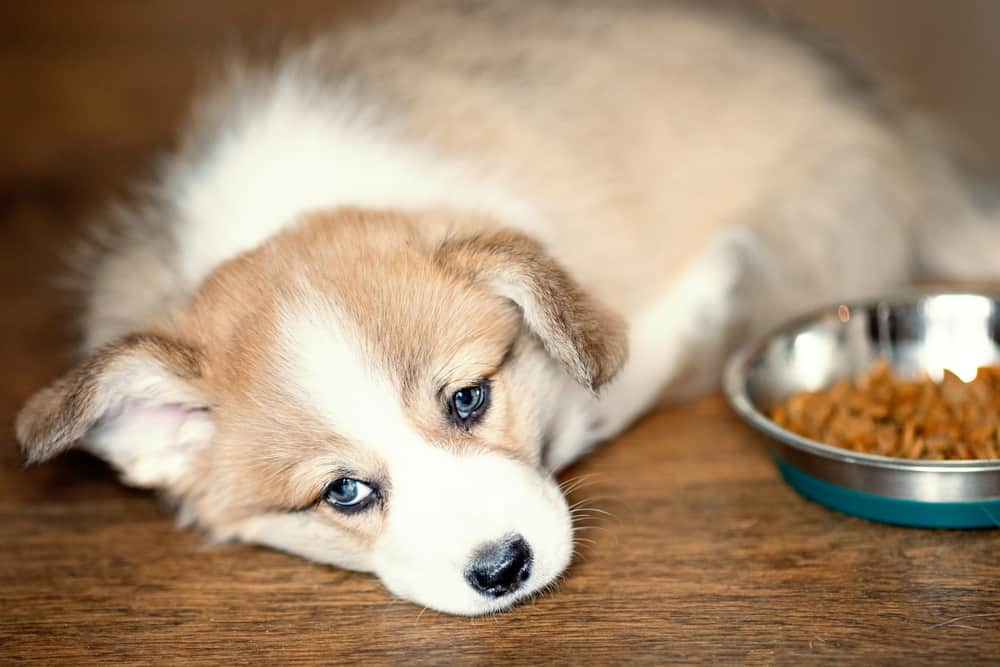 Puppy refuses to eat