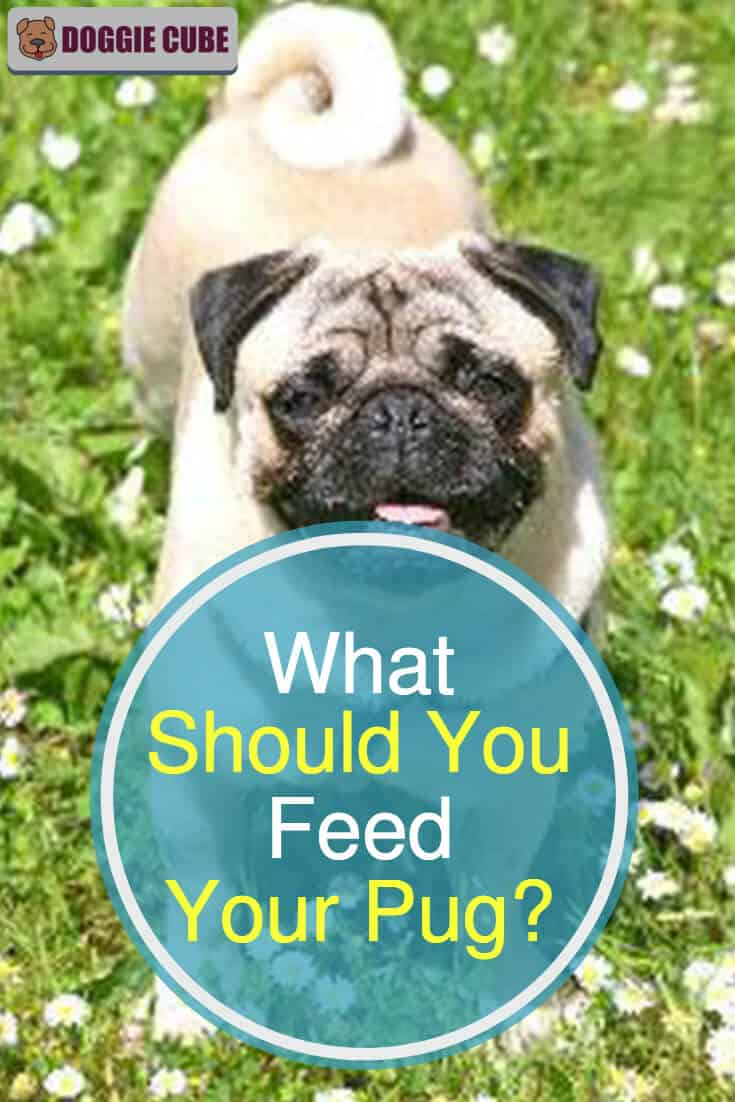 What should you feed your pug?