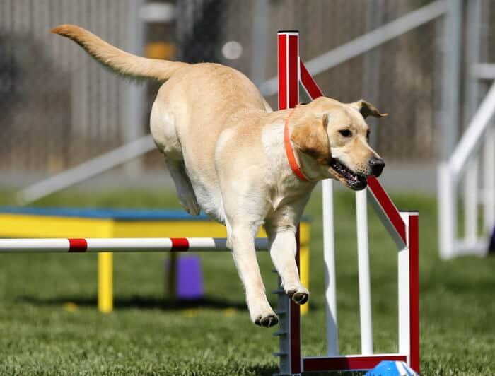 adorable agility labrador retriever