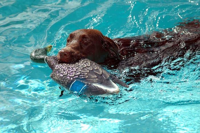 chocolate lab swimming