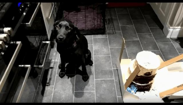 labrador ate wedding cake