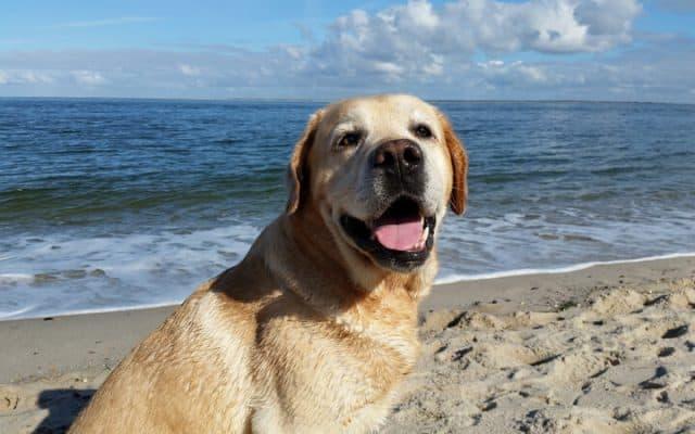 labrador retriever by the sea