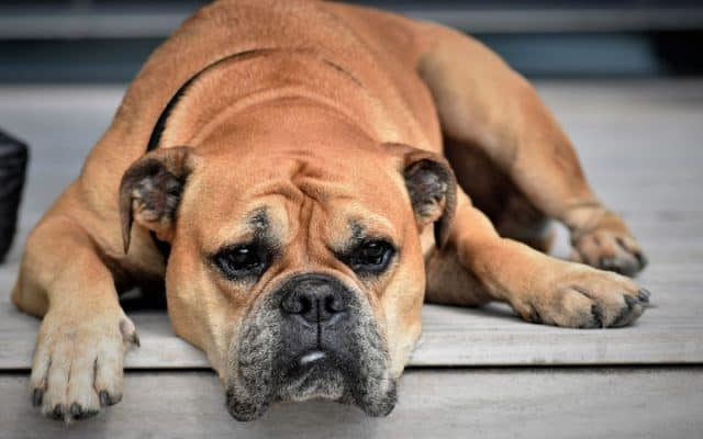 tired boxer dog
