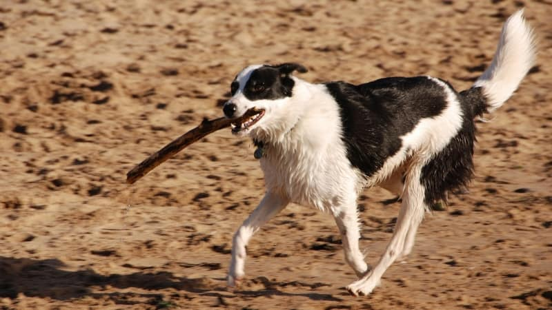 Dog running with stick in mouth