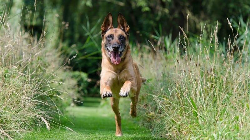 German shepherd running towards you