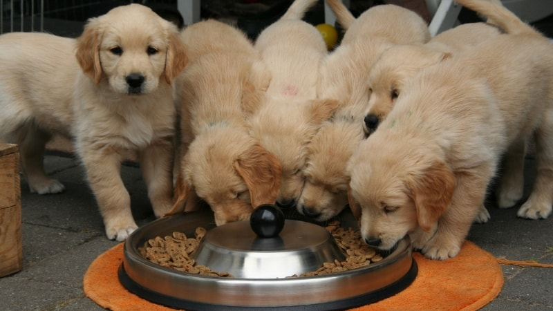 Golden retriever puppies eating their meal