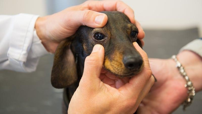 Checking dog eye for problems.