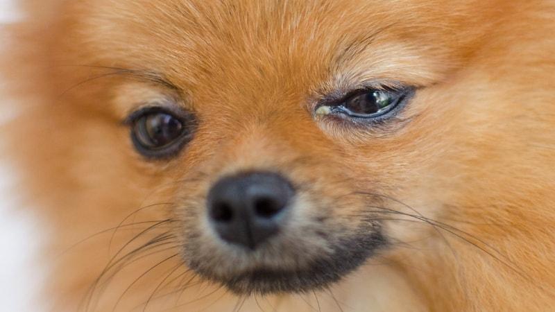 Dog having eye problems.