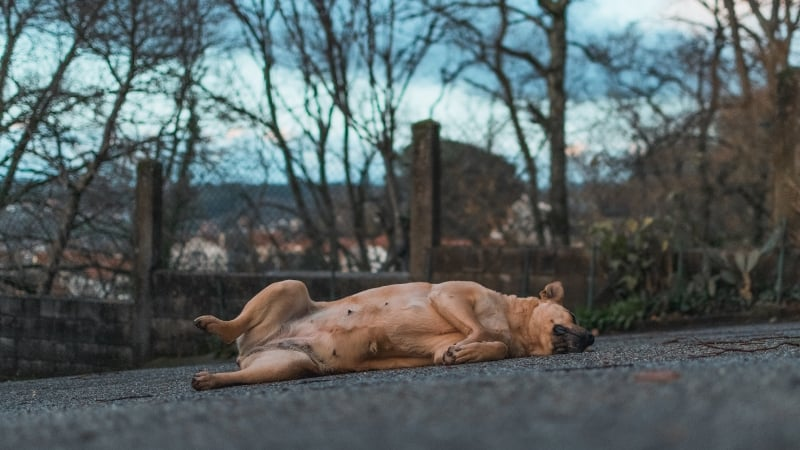 Confusing Dog Behaviors -Rebellious dog laying on the ground