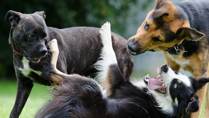 Dogs playing rough with each other