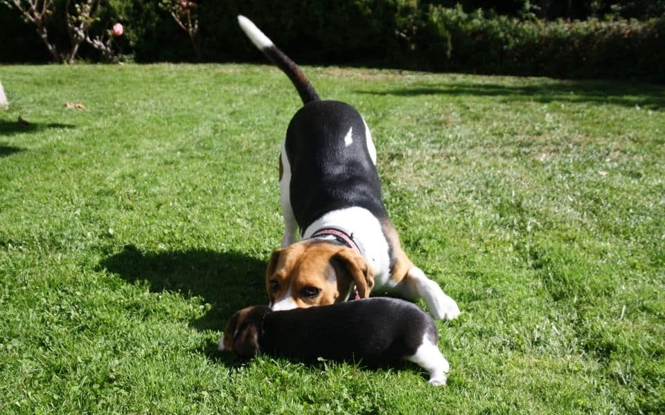 Puppy playing with each other
