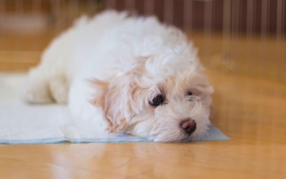 Puppy potty training tips